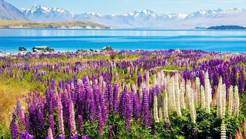 Цветы на озере Текапо, Новая Зеландия (7)