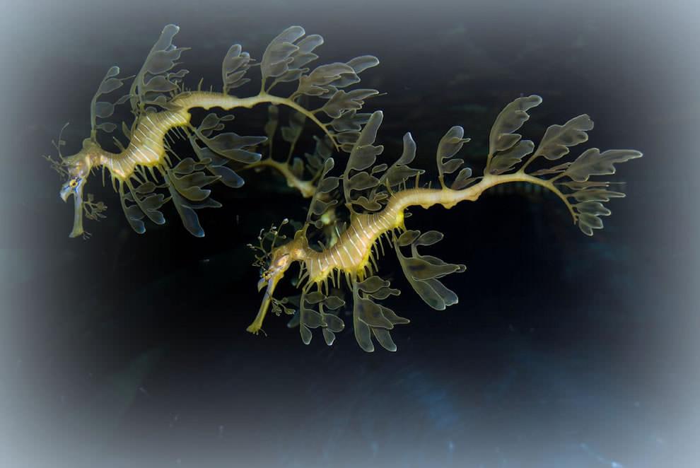 Морской конек (18)