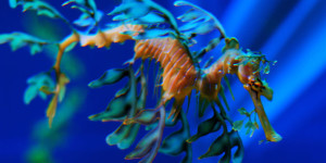 Морской конёк (47 фото)