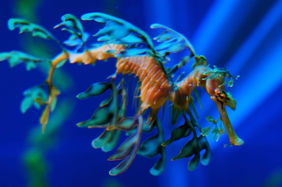Морской конек (3)