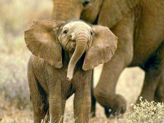 Слоненок (11)