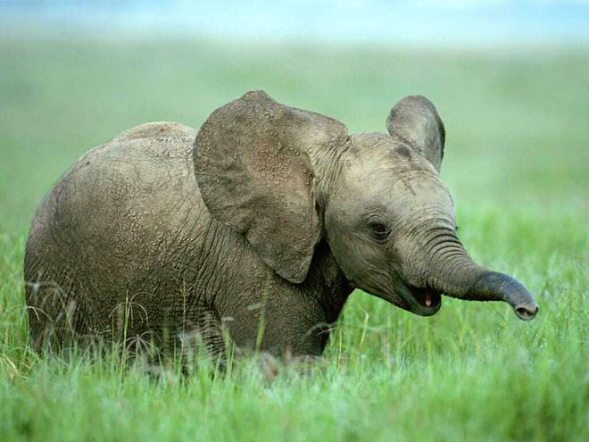 Слоненок (15)