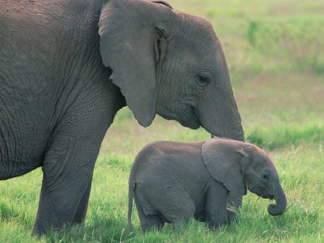 Слоненок (24)