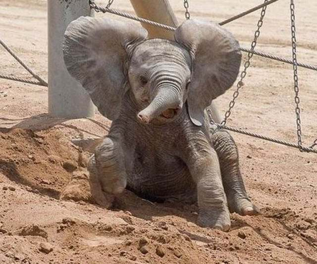 Слоненок (25)