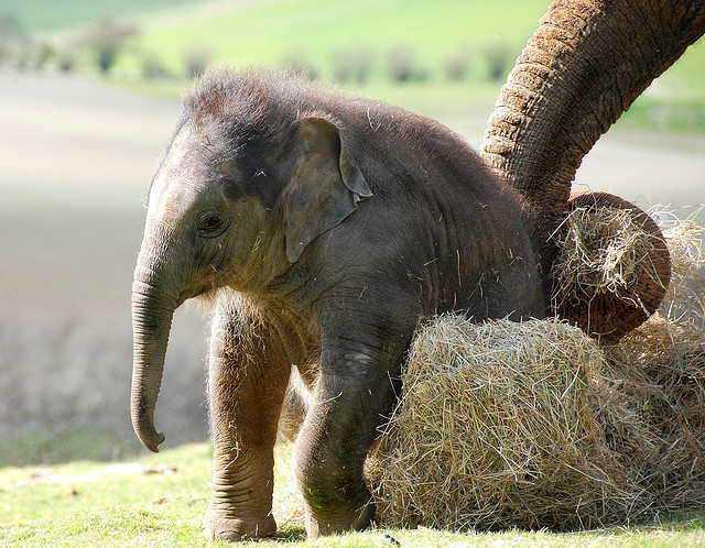 Слоненок (26)