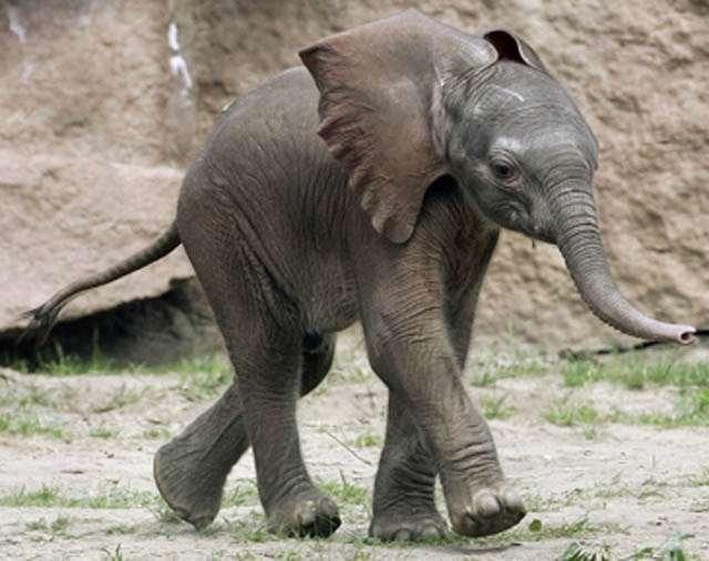 Слоненок (28)
