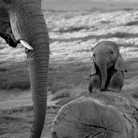 Слоненок (6)