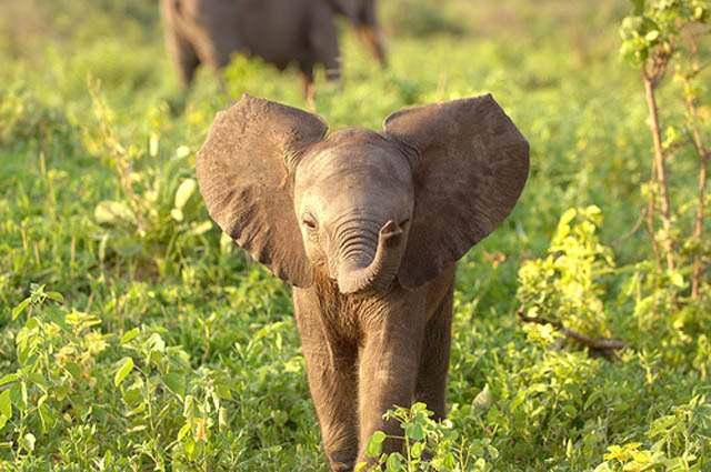 Слоненок (9)