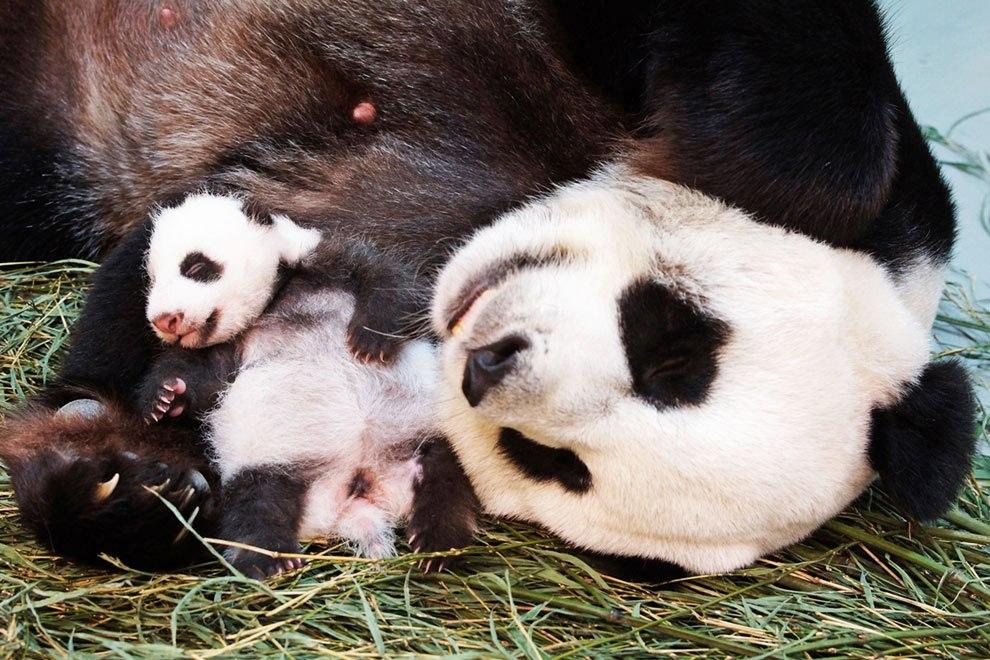 Мален�кая панда в зоопа�ке Тайб�я