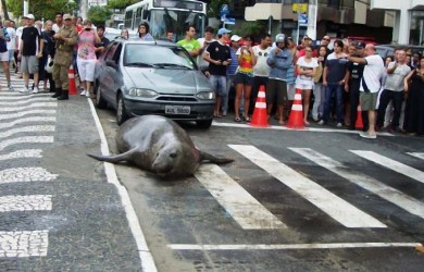 Морской лев на... городской улице (5)