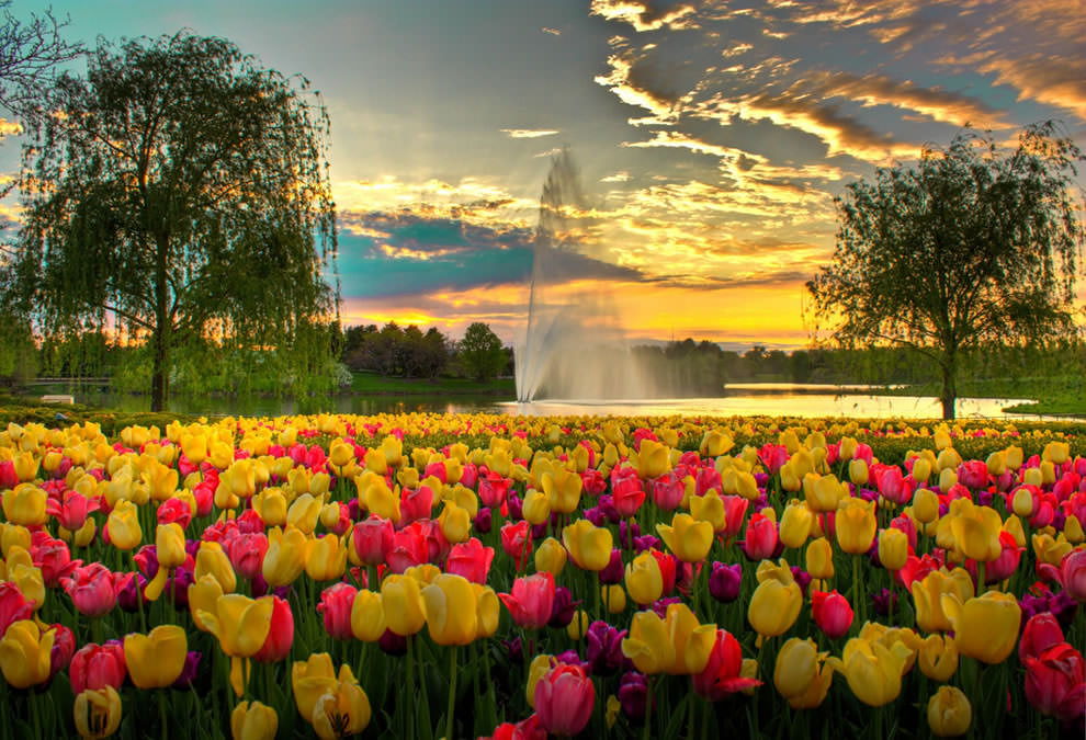 Тюльпаны - цветы весны (5)