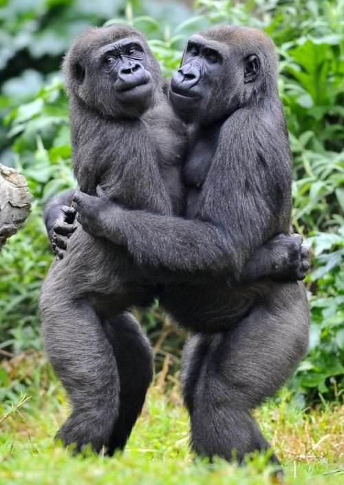 Секс человека с гориллой смотреть 13 фотография