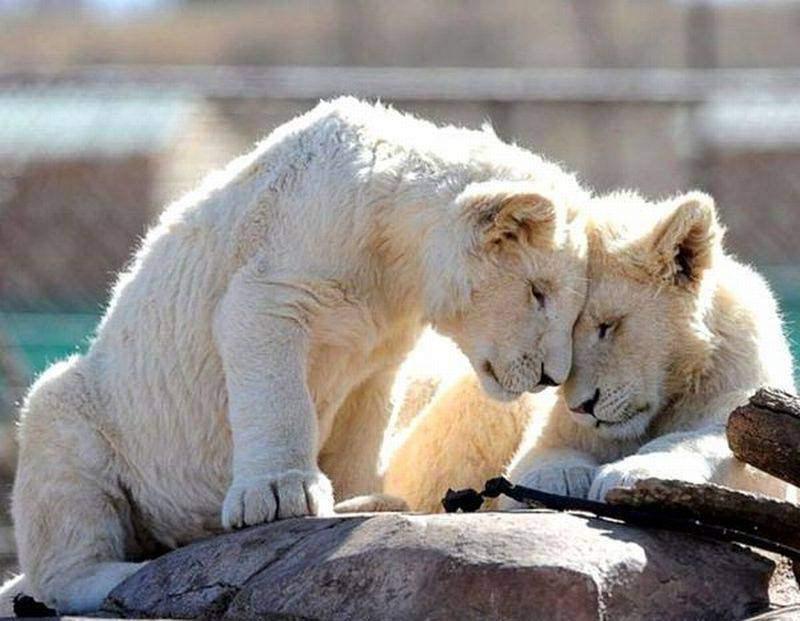 Признания в любви в животном мире (1)