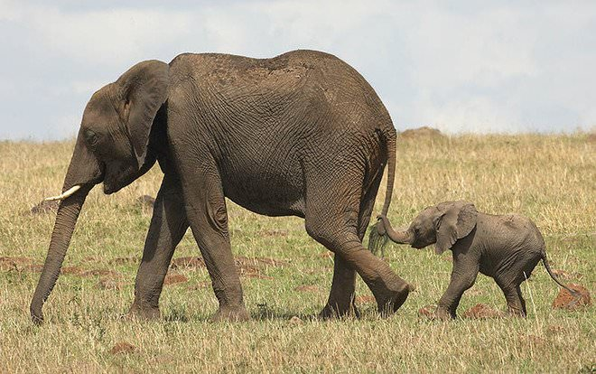 Слоненок (13)