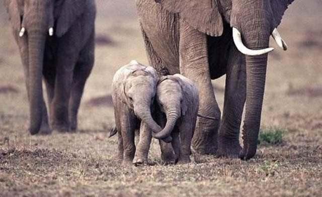 Слоненок (7)