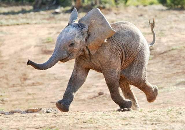 Слоненок (10)
