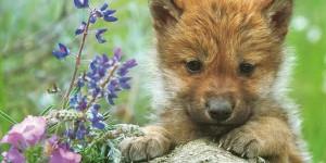 Красный волк, фото
