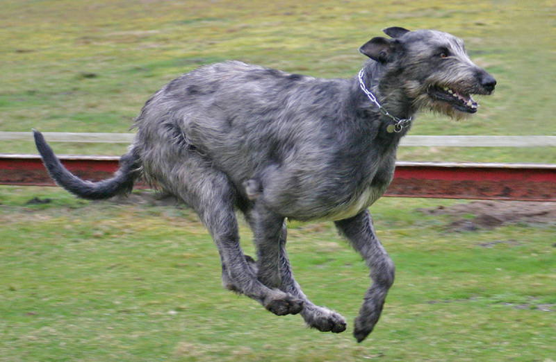 Irish_Wolfhound_fotostranik_14.06.2014-05_mini